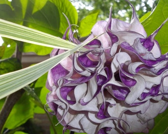 Gorgeous Datura Seeds.  Convo me if non available. Purple, White, Purple and White all on the same plant.