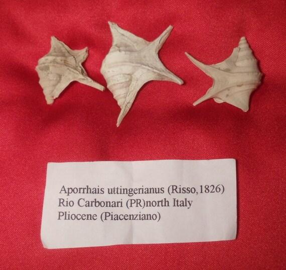 Three Fossil Pelican's-Foot Snail Shells