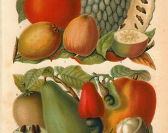 Botanical Art Vintage Print Tropical Fruits Lithograph Avocado  Mango Guava  Food Kitchen Decor