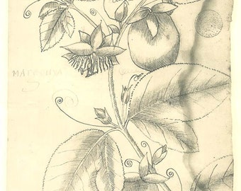Passion Fruit  Botanical Print Sketch Drawing Passiflora Passion Fruit Flower Maranhao Brazil