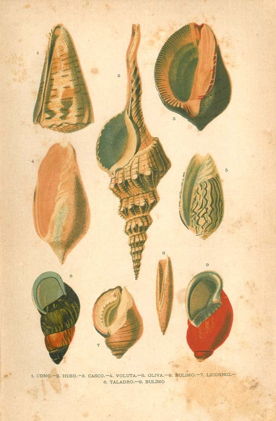 Seashells  Print, Sea Snails, Marine Gastropods Mollusks