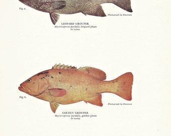 SALE Fish Print, GROUPER, Beach Decor, Fishing Masculine Home Decor, Art Illustration to Frame, Book plate, Marine Print, A-5
