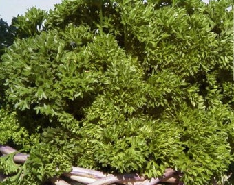 Triple Moss Curled Heirloom Parsley Herb Seeds Non GMO