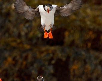 Atlantic Puffin landing wings spread photograph, vertical 8x10 print matted on white 11x14 mat.  Puffin landing on rock wings spread