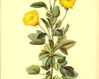 Redoute Botanical Print -  - Heterophylla - 115
