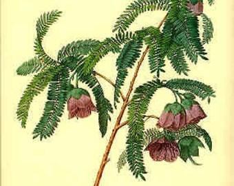 Redoute Botanical Print -  - Spaendoncea- 136