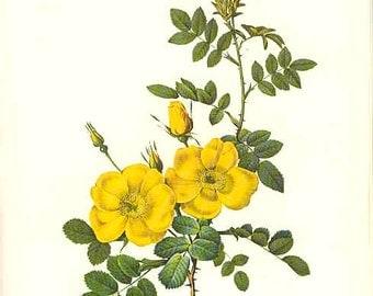 Redoute Botanical Rose Print  10