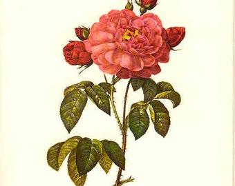 Redoute Botanical Rose Print  18