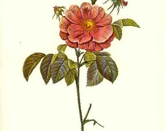 Redoute Botanical Rose Print  19