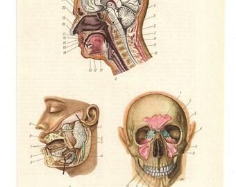 2 Vintage Anatomical Prints skull head Medical Diagrams blood skeleton illustrations Anatomy Print  Paper Ephemera Old Victorian