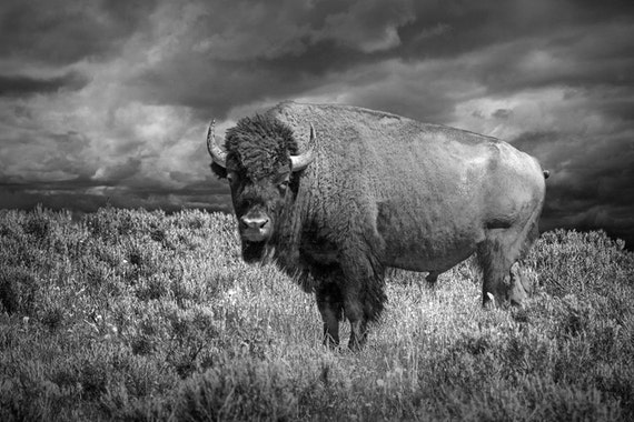 American Buffalo Bison in Yellowstone National Park in Wyoming No. 3586 A Black and White Wildlife Animal Photograph
