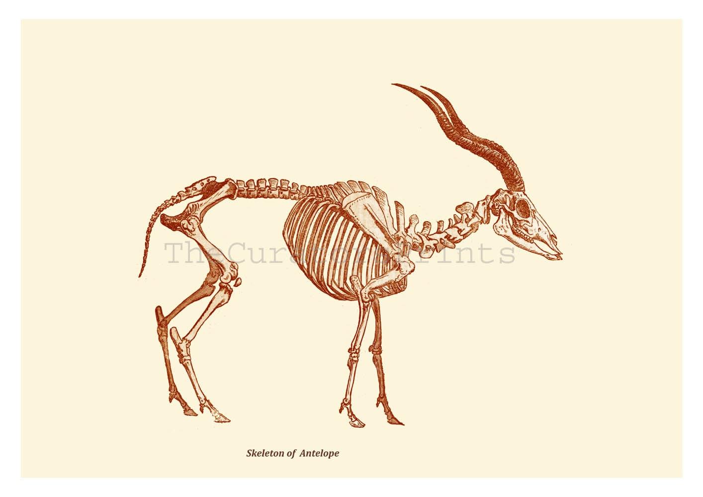 Antelope Skull Drawing