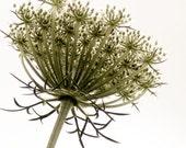Minimalist Wildflower Art Photograph Green Large Botanical Nature Decor Print