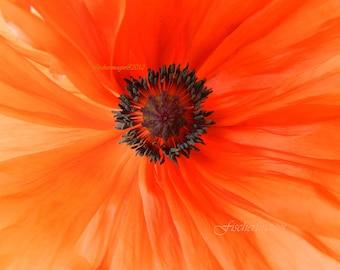 Macro Orange Poppy Flower Nature Wall Art Home Decor Photo Print Fine Art Photography
