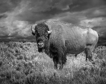 Buffalo Icon, American Bison, Yellowstone Wildlife, National Park, Wyoming Landscape, Black and White, Wildlife Photography, Sepia Tone