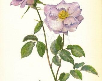 SALE Rose Print, Botanical floral  Flower Print, Wall Decor, Art Illustration to Frame, Gardening, lavender, Flower Decor, A-4