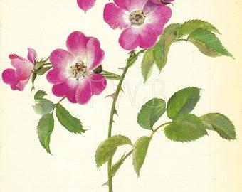 SALE Rose Print, Botanical Floral  Flower Print, Wall Decor, Gardening Gift, Art Illustration to Frame, lithograph, Pillar, A-4