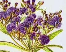 Ironweed Veronia Noveboracensis Flower Botanical 1950s Vintage Wildflower Art Print To Frame 209