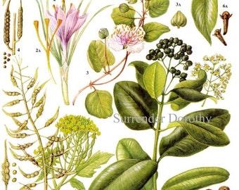 Saffron Bay Cloves Spice & Herb Chart Plant Flowers Food Chart Botanical Lithograph Illustration For Your Vintage Kitchen 133