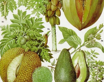 Avocado Breadfruit Pawpaw Tropical Fruit Flower Chart Food Botanical Lithograph Illustration For Your Vintage Kitchen 115