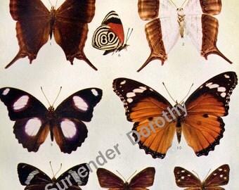 Timetes Callicore Eunica Hypolimnas Butterflies 1900 Edwardian Entomology Vintage Natural History Rotogravure Illustration XXI