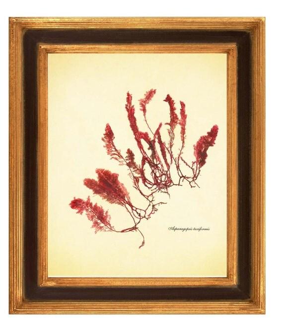 Original seaweed pressing, Asparagopsis Single Seaweed, Botanical seaweed art  Wall Art, Nautical art, kelp, algae