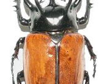 OVERSTOCK: Giant Beetles, Eupatorus gracilicornis males