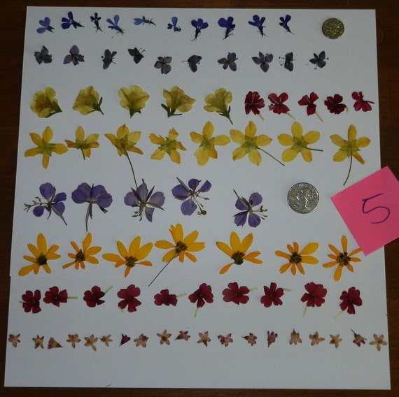 Dried and Pressed Flowers Little Flowers Collection Verbena, Pansies, Vioia, Lobelia.