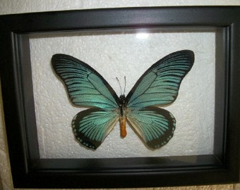 African Swallowtail Butterfly 3