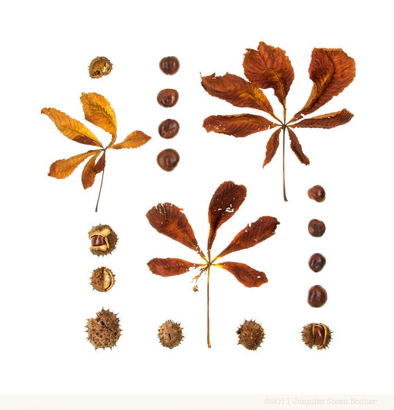 Woodland series No.3 - 8 x 8 photograph - horse chestnut leaves, burrs, and nuts, Maine woods