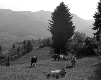 Transylvanian Alps I - 8x10 paper, traditional black and white photograph, mountain photography, cow photograph