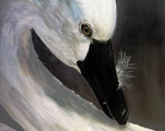 Preening Swan - Oil Print