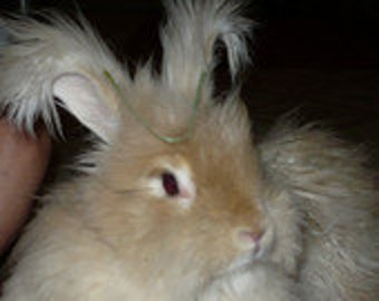 Adopt a Angora bunny for an 3 months,and receive a skein of yarn per month