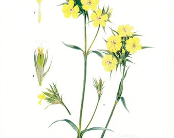 1936 Botany Print - Dianthus Knappii - Vintage Antique Flower Art Illustration Book Plate for Framing