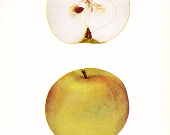 1905 Fruit Print - Nelson Apple - Vintage Home Kitchen Food Decor Plate Plant Art Illustration Great for Framing 100 Years Old