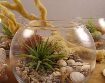 Tillandsia Air Plant DIY Terrarium Boxed Gift Set