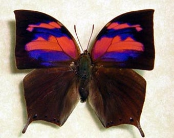 Framed Butterfly Anaea Nessus Real Pink Purple Butterfly 510