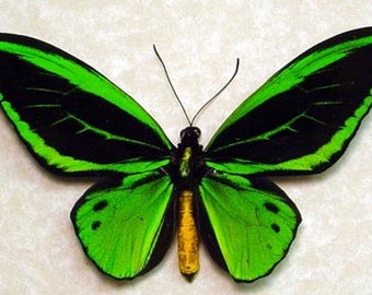 Real Framed Emerald Green Birdwing Butterfly 584