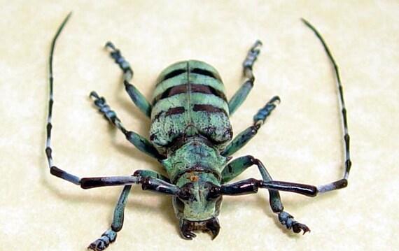 Anoplophora Medembachi Blue Longhorn Beetle Real Framed 8086