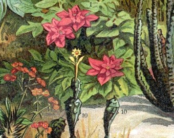 1895 Vintage Botanical Print of Poinsettias and Other Euphorbiaceae - Chromolithograph - German