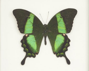 Real Framed Butterfly Emerald Swallowtail