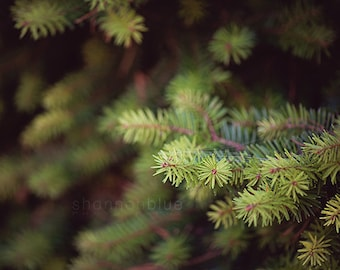 evergreen tree nature photography / green, winter, christmas tree, fir, pine / evergreen / 8x10 fine art photo