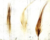 Still life photo, nature study, botanical, autumn fall,  yellow, white, minimal, tan, sepia, home decor - 3 Feathers 8 x 10 - gbrosseau