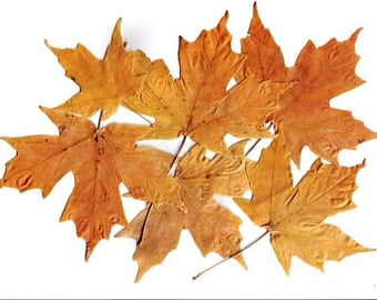 SALE, Real Pressed Yellow Brown Maple Leaves, Perfect for Weddings, Events, Decorations, Art & Craft Projects, Holidays, Cards, ScrapBooking