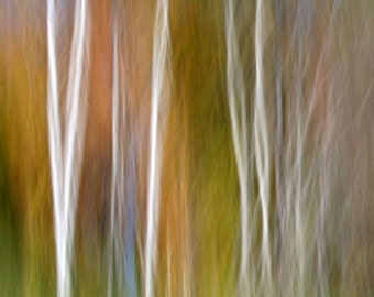 Fall Birch Trees, Orange and Green, Fall Color, 11X14 Matted Print, Fine Art, Abstract Nature Photography, Landscape, Ready to Frame