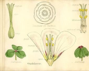 Wood Sorrel Family, Antique Botanical Print, 1874, Plate 17, Petals, Oxalidacaea, Nat History, Vegetable Kingdom, Hand Colored
