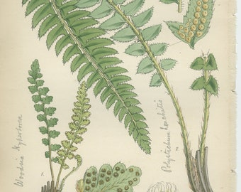 Holly Fern Rare, Blunt-leaved, Alpine Woodsia, Antique Botanical Fern Print 4, 1851, British Natural History, Fitch, Hand Colored