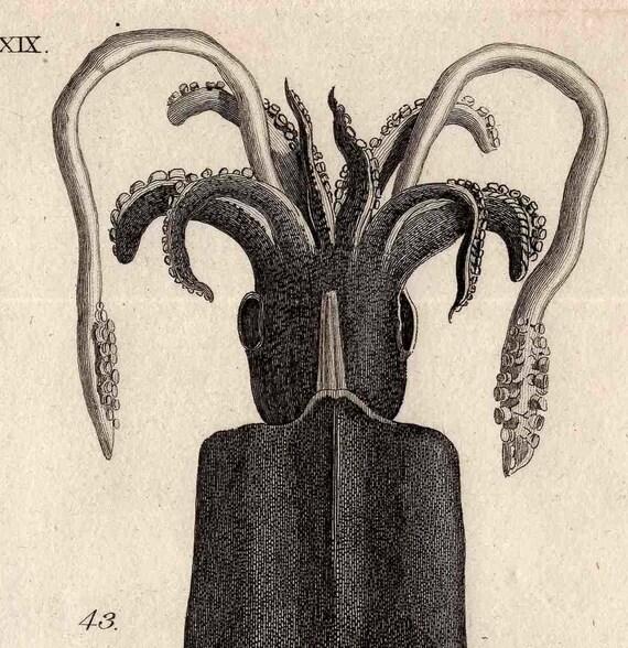 1803 sea life original antique engraving - cuttlefish mollusk