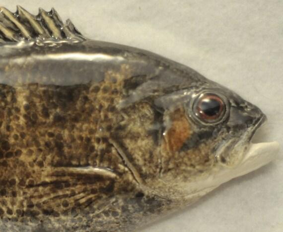 Rock bass ceramic fish for Rock bass fish