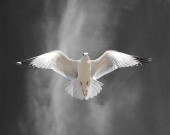 Bird Photography, Ring-billed Gull Bird, Limited Edition Photography Bird Art Print , Fine Art Photography, Flight Lesson A
